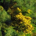 Il giallo della mimosa colora il savonese
